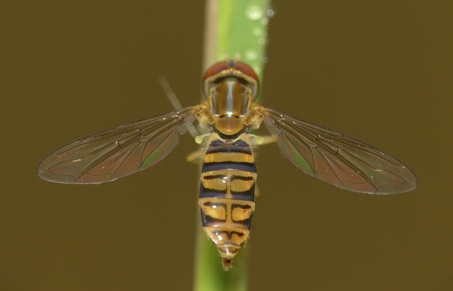'Tis the Season for the Hover Fly