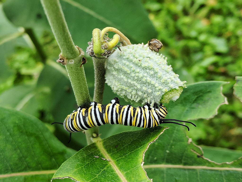 Today's Milkweed Supports Tomorrow's Monarchs