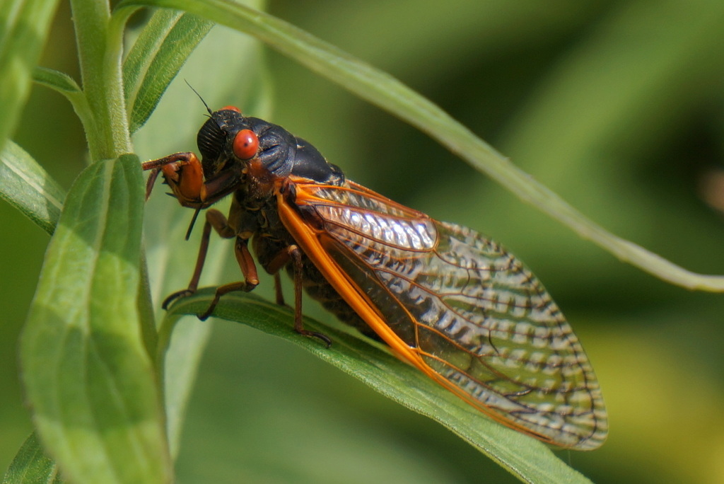 Caught Up In Cicada Mania? 10 Things You Should Know About These Mystic Creatures